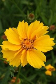 Suppliers of wildflowers, native seeds and Eco-Lawn grass seed for natural landscaping, wildflower gardens, and land restoration. Cut Flowers, Yellow Flowers, Wild Flowers, Coreopsis Flower, Natural Landscaping, Landscaping Ideas, Backyard Ideas, Garden Landscaping, Garden Ideas