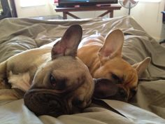 2 Pooped BFF's, French Bulldogs