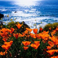 California Poppies, part of California's beauty