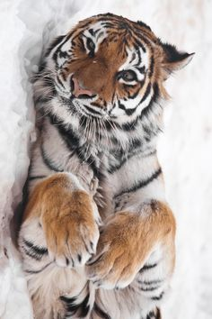 Awesome Tiger really cute laying pose love his fur alot