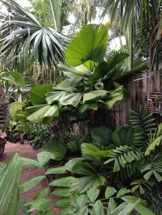 Garden Update - DISCUSSING PALM TREES WORLDWIDE - PalmTalk