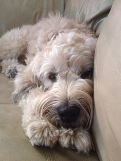 Soft Coated Wheaten Terrier--best dogs ever Love My Dog, Cute Puppies, Cute Dogs, Dogs And Puppies, Doggies, Wheaten Terrier, Terrier Dogs, Terrier Mix, Animals And Pets