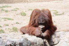 Orangutan in Fuengirola zoo, Spain.