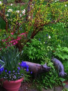 May in a Nantucket MA garden. Dutchmans breeches ( Dicentra) Christmas Rose ( Hellebore) Peony leaf, a whole crazy mix of blue tone bulbs, the last of the Daffodils (white) and wild violets that find there way here, and my pigs. Garden design and photo by Cinda Gaynor. The Gardens - Nantucket (MA) blog. May 4, 2009