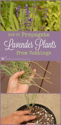 How To Propagate Lavender Plants From Cuttings Propagating lavender is easy. Plus, once you learn how to propagate lavender plants from your garden, you'll be able to grow as much lavender as you want! – THIS IS GREAT TO KNOW AS I LOVE LAVENDER! Growing Lavender, Growing Herbs, Lavender Plants, Lavender Garden, Lavender Ideas, Planting Lavender, Lavender Fields, Hydroponic Gardening, Hydroponics