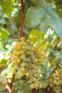 Passerina grapes near Offida in Le Marche Italy.