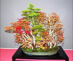 This playful mixed Japanese maple bonsai forest is by Juan José Bueno Gil.
