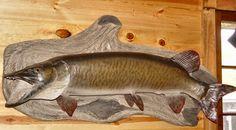 Beautiful Muskellunge 'Musky' Taxidermy                           Fish Mount