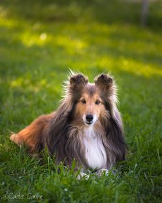 Shelties are so pretty!