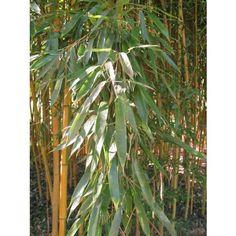 Bambou Phyllostachys aureo. Spect
