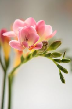 Freesia |  Freesias are fragrant. They have five to 10 single or double flowers. Stems are usually 10 to 18 inches long with little or no foliage. Bell-shaped blossoms come in white, yellow, orange, red, pink, mauve, lavender, purple and bicolors. The delicate blossoms are perfect in wedding designs.
