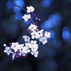 Sakura tree (Japan)