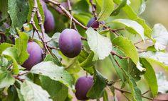 Für eine reiche Ernte ist es wichtig, den Pflaumenbaum regelmäßig zurück zuschneiden. Wir erklären, wie du den Obstbaumschnitt vornehmen musst.