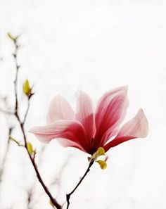 magnolia by Richard Phibbs