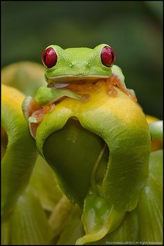 Red-eyed Tree Frog~Blending in