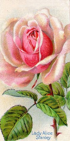 Lady Alice Stanley Rose