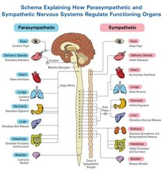 The Autonomic Nervous System Divide: Parasympathetic and Sympathetic System Nervous System Anatomy, Nursing School Notes, Nursing Schools, Vagus Nerve, Autonomic Nervous System, Human Anatomy And Physiology, Brain Anatomy, Medical Anatomy, Nursing Tips