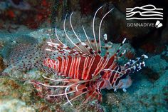 Lionfish in its natural habitat - the Indo-Pacific region. #GonnaDive #Amed #Bali