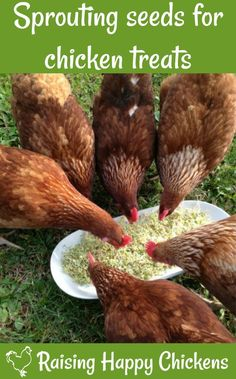 Chickens love sprouting seeds - they're inexpensive to make, packed full of yummy-protein goodness and my girls fight to get to them first! Learn how to make them in 3 easy steps!