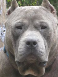 Abrams is an adoptable American Bulldog Dog in Eugene, OR. This dog is a rare find!! Abe is a 3 year old blue American Bully dog, otherwise known as a Pit-O-Potamus. He is most likely a mix of Bully, ...HIS CHIN LOOKS LIKE DENNIS ...