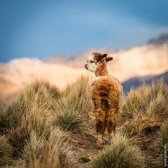 Alpaca by Gunther Wegner, via 500px