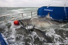Mote's high-tech shark catch