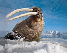 """603 Likes, 4 Comments - END EXTINCTION INTERNATIONAL (@endextinctionintl) on Instagram: """"#EEIFunFacts ❄️ Walrus (Odobenus rosmarus) are native to the Arctic, and can weigh over 1500kgs…"""""""