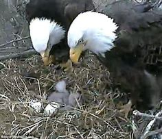 A second baby bald eagle in Iowa has died, much to the heartbreak of millions around the world who tuned in to watch the live stream of their nest in Decorah, Iowa. Eagle Images, Eagle Pictures, Animals Of The World, Animals And Pets, Cute Animals, All Birds, Birds Of Prey, Beautiful Birds, Animals Beautiful