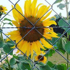 Quando os zumbis vierem na minha casa eu já estarei preparada. #pvz #sunflower