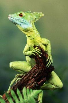 Funny Wildlife, funnywildlife: photoexplorer1: Water lizard