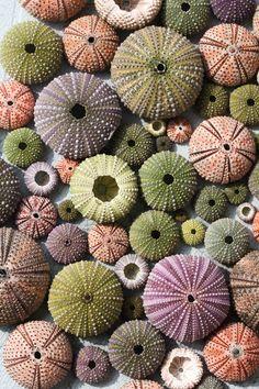 Colorful sea urchin shells by c l a r a X Y on @creativemarket