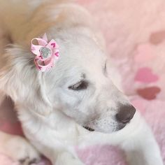 """Such a beautiful shot and such a sweet pup!  Maple is wearing our """"Pink-a-Boo"""" bow  @maplefloral"""