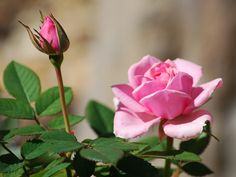 2014-02-16 My miniature roses are blooming!