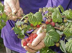 Fruits au potager : un coin spécial pour les desserts