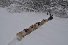 An army of pugs being led by a Corgi  http://www.buzzfeed.com/mjs538/an-army-of-pugs-being-led-by-a-corgi