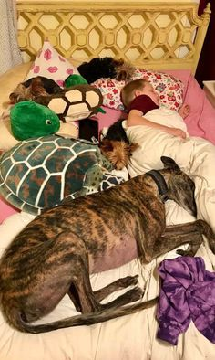 Things that make you go AWW! Like puppies, bunnies, babies, and so on. A place for really cute pictures and videos! Lurcher, Italian Greyhound, Greyhounds, Whippet, Dog Friends, I Love Dogs, Sweet Dreams, Animals Beautiful, Boston Terrier