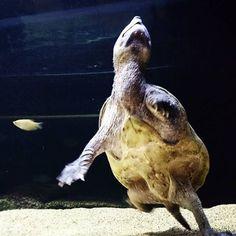 【ssalvinii】さんのInstagramをピンしています。 《#亀 #サルヴィンオオニオイガメ #動物 #爬虫類 #アクアリウム #熱帯魚 #aquarium #animal #staurotypus #freshwater fish #reptile #turtle》