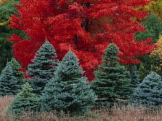 Maples and Spruce Trees in Autumn, Michigan