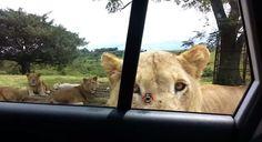 Lions can open doors now