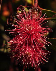 Eucalyptus erythronema flowers, San Luis Obispo Botanical