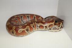 Python - Blood Snakes, Python, Reptiles, Blood, Animals, Animaux, A Snake, Animal, Animales