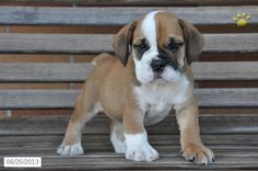 Peanut - Beabull Puppy for Sale in Dundee, OH - Beabull - Puppy for Sale Beagle Kennel, Lancaster Puppies, Dogs For Sale, Crazy Dog Lady, Dundee, New Puppy, Cute Puppies, Cute Dogs, Dogs And Puppies