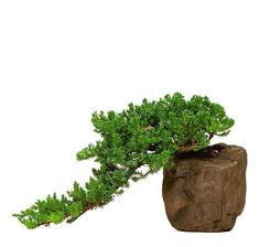 Green Mound Juniper Bonsai Tree For Sale