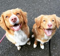 Let's take a minute to appreciate the beauty that is the Nova Scotia Duck Tolling Retriever. ~ The One Canadian Dog Breed Everyone Needs To Know About