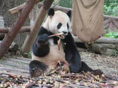 A giant pands dines on bamboo shoots at the Giant Panda Breeding Research Base in Chengdu, Sichuan, China. Sichuan China, Bamboo Shoots, Chengdu, Panda Bear, Base, Animals, Animaux, Pandas, Animal