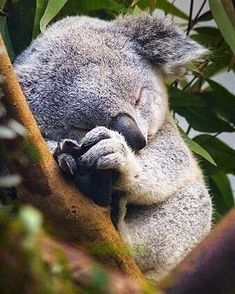 Funny pictures about Sleeping Baby Koala. Oh, and cool pics about Sleeping Baby Koala. Also, Sleeping Baby Koala photos. Cute Creatures, Beautiful Creatures, Animals Beautiful, Beautiful Images, Animals Amazing, Majestic Animals, You're Beautiful, Nature Animals, Animals And Pets