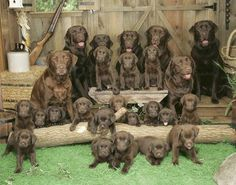 Mind Blowing Facts About Labrador Retrievers And Ideas. Amazing Facts About Labrador Retrievers And Ideas. Lab Puppies, Cute Puppies, Cute Dogs, Rescue Puppies, Chocolate Labs, Chocolate Labradors, Chocolate Heaven, Chocolate Syrup, Chocolate Factory