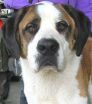 The shorthaired St. Bernard from http://www.dogsindepth.com - the online dog encyclopedia