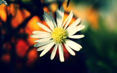 2017-03-01 - daisy wallpapers 1080p high quality, #1644713