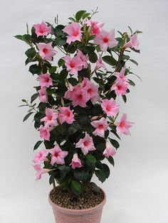 This post contains the best 20 flowering houseplants for indoor decoration. These plants are not only decorative but also low maintenance.Soft pink outer petals changing to deeper pink in the centre of the flowers Flowers medium in size Set against g House Plants Decor, Plant Decor, Flowers Perennials, Planting Flowers, Flower Seeds, Flower Pots, Exotic Flowers, Beautiful Flowers, Small Garden Design